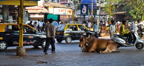 mucca sacra india